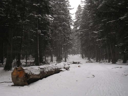 Copaci taiati pe marginea unui drum forestier din apropiere de partia Kalinderu